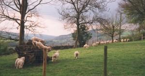 lamb.race.med
